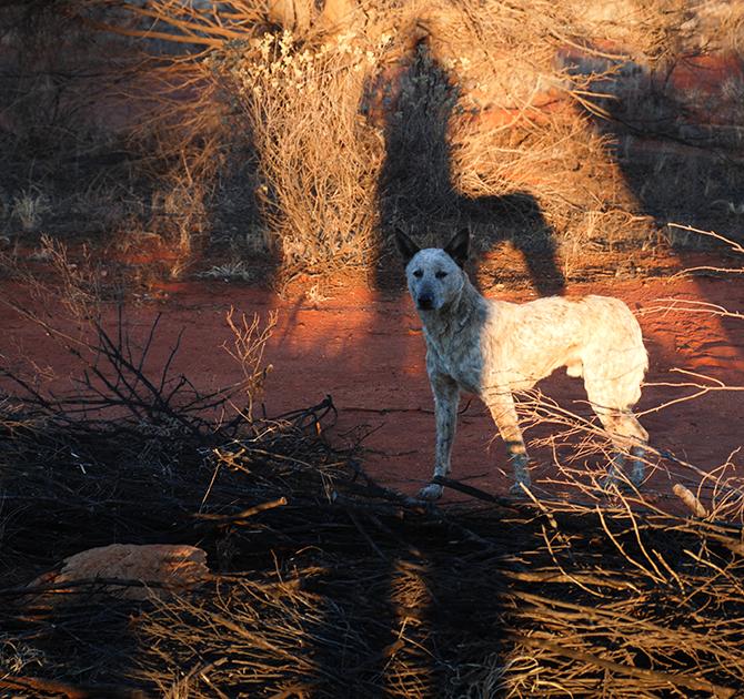 """Uluru dingo"" by Alberto Otero García from Barcelona, Spain - Uluru dingo. Licensed under Creative Commons Attribution 2.0 via Wikimedia Commons - http://commons.wikimedia.org/wiki/File:Uluru_dingo.jpg#mediaviewer/File:Uluru_dingo.jpg"