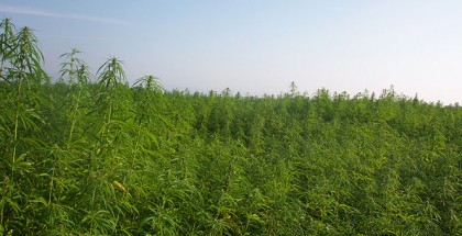 Aleks - Own work. Cultivation of industrial hemp for fibre and grain in France. Licensed under the terms of the GNU Free Documentation License via Wikimedia Commons